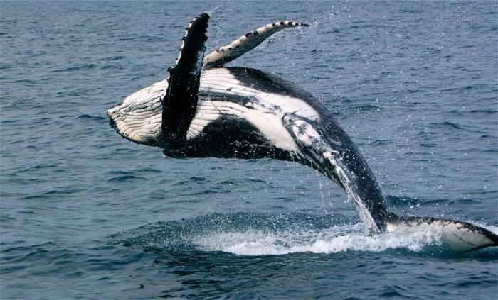 значение слова кит