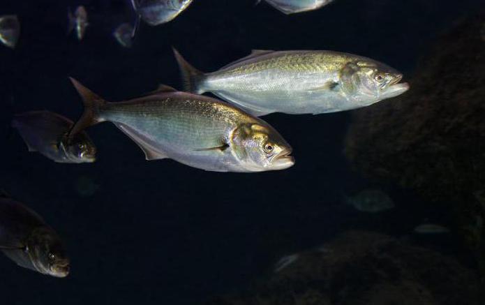 смешные демотиваторы луфаревые рыба фото разбогатели чем занимаются