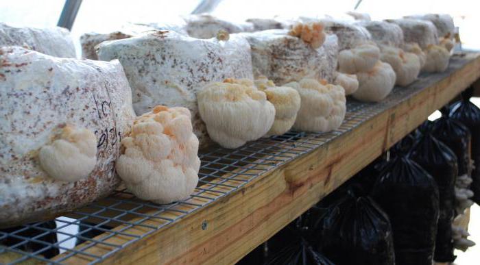 гриб бородач полезные свойства