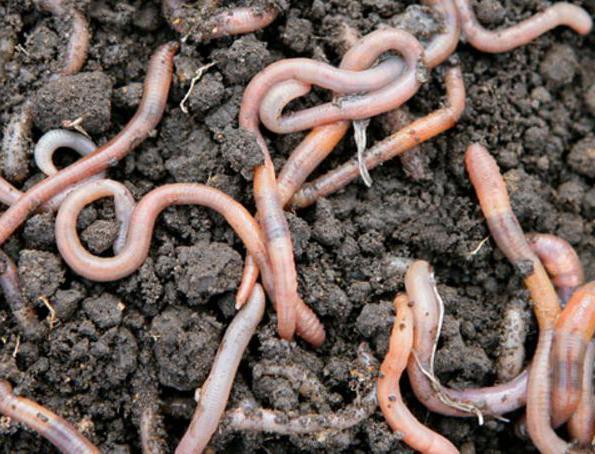 чем питаются дождевые черви на вермифермах