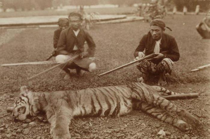 тигр яванский фото
