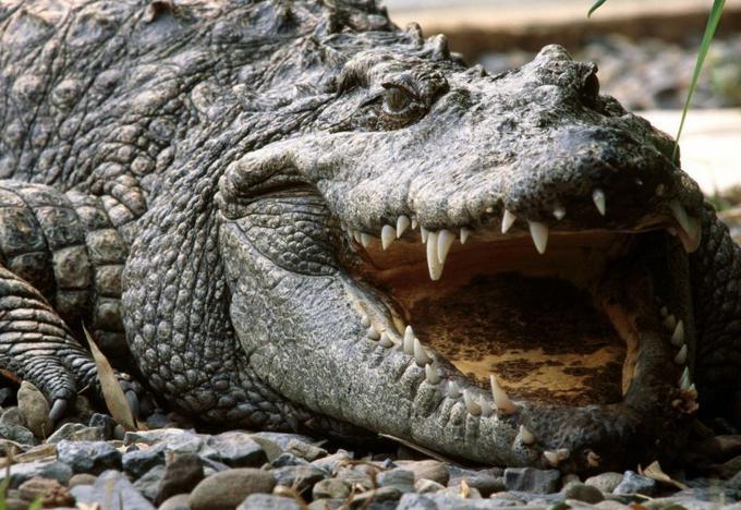 крокодил где живет