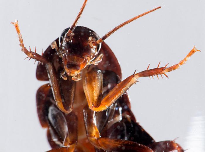 вид тараканов