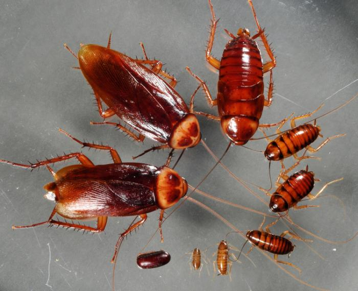 вид тараканов фото