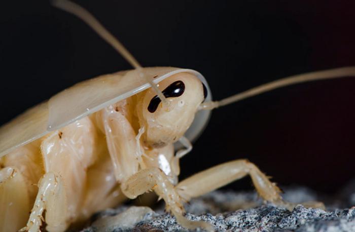 вид тараканов питающихся ресницами