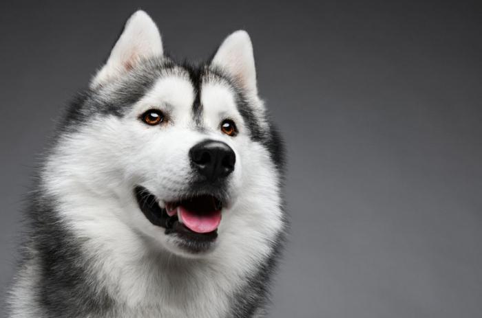 Питание Сибирского Хаски, рацион для щенков, рецепты блюд