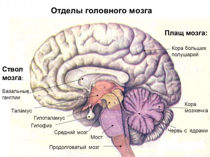 Строение мозга человека фото с описанием функции