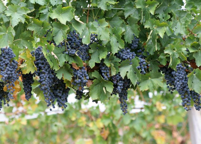 клещ войлочный виноградный