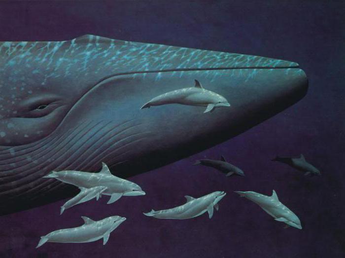 К чему снится большой синий кит