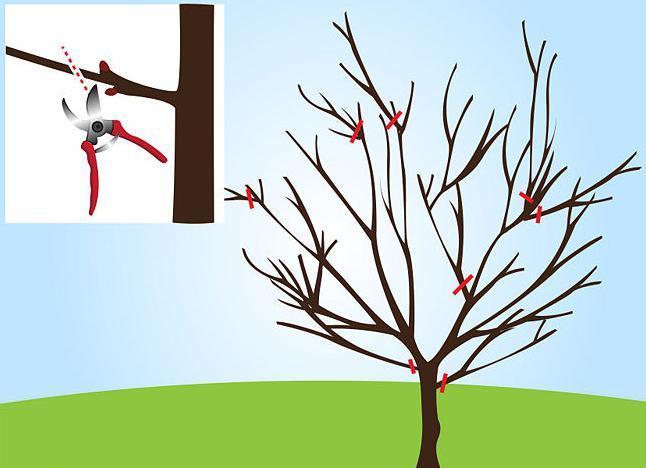 обрезка войлочной вишни весной