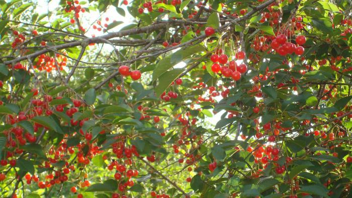 обрезка вишни весной при посадке