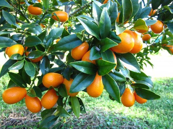саженцы плодовых карликовых деревьев