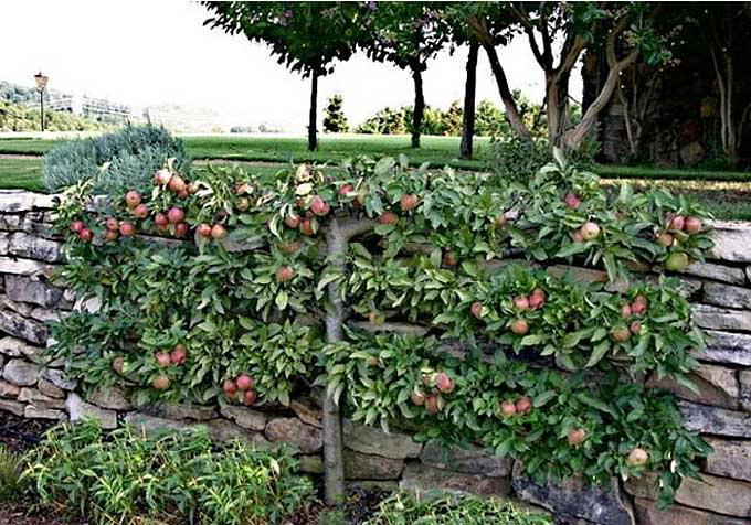 саженцы карликовых деревьев