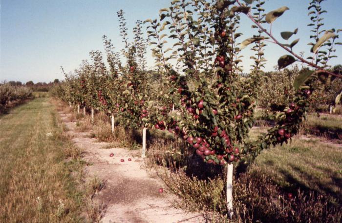 Выращивание низкорослых яблонь 16