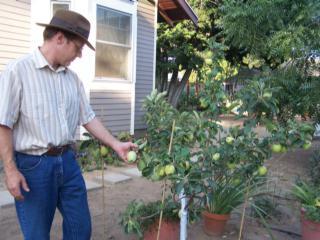 карликовые плодовые деревья
