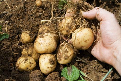 Картофель выращивание и уход в открытом грунте