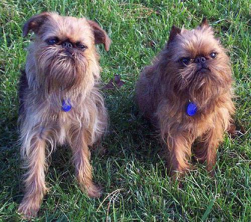 раскраска малые бельгийские собаки