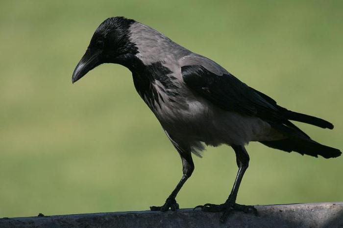 домашняя серая ворона