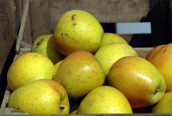 вид яблони