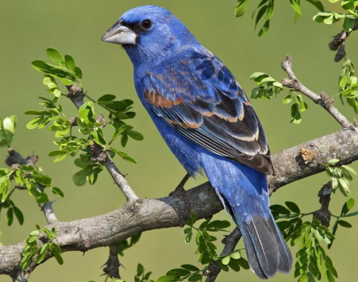 Дубонос птица