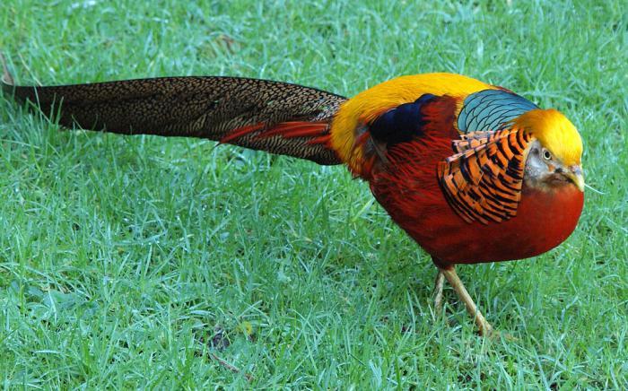 сазан фото птица