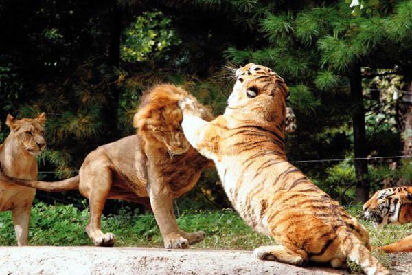 Секс тигра и льва
