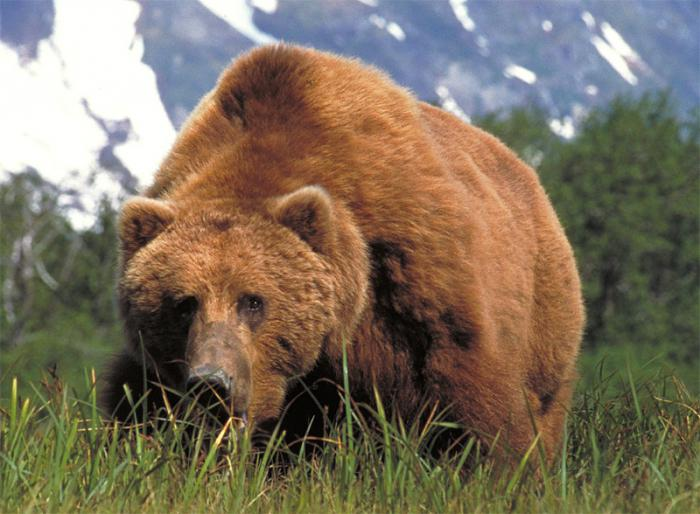 лев или медведь