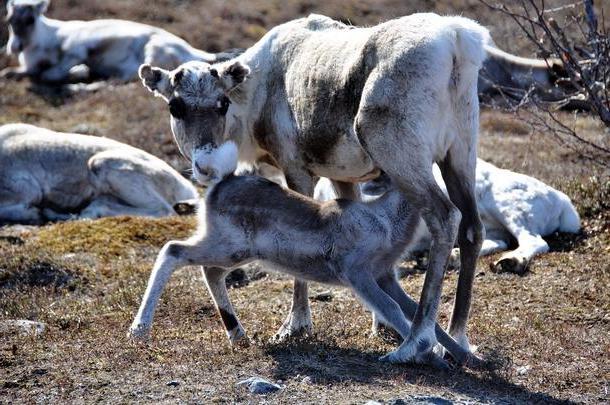 Как называется самка оленя