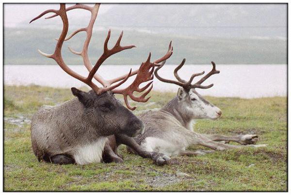 интересные факты об оленях