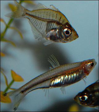 Стеклянный окунь аквариумная рыбка