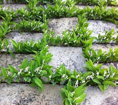 цветы ландыша майского