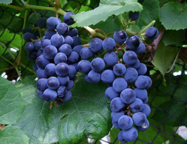 виноград загадка шарова фото