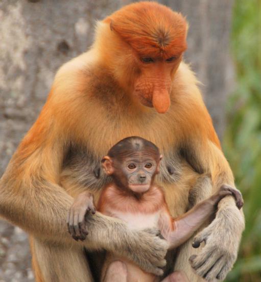 Самая большая попа в мире у обезьяны