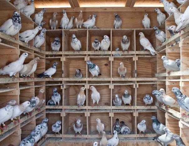 витамины для голубей
