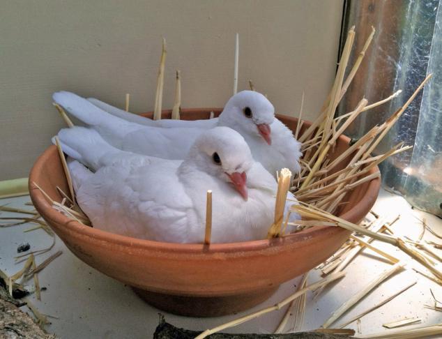 корм для голубей