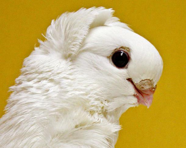уход и кормление голубей
