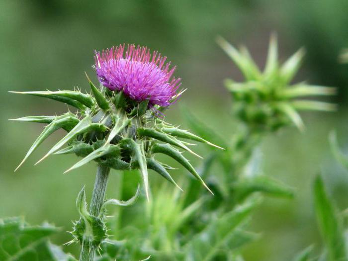 лекарственные травы для потенции Ачинск
