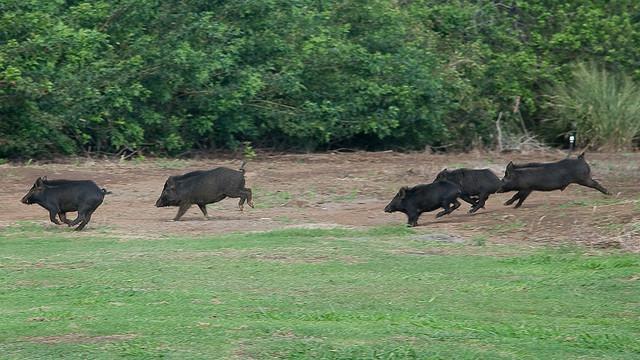 африканской чумы свиней опасность для человека