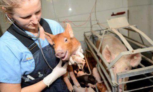 вирус африканской чумы свиней опасность для человека