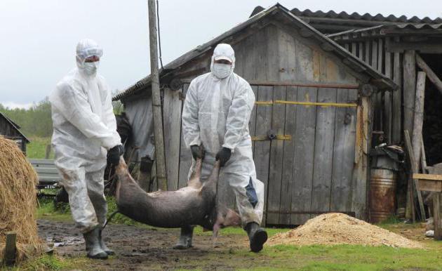 африканская чума свиней опасна ли она для человека