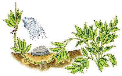 шалфей правила выращивания