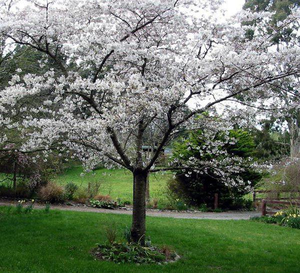 как посадить сливу весной пошаговое руководство