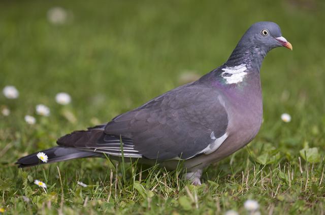голубь витютень