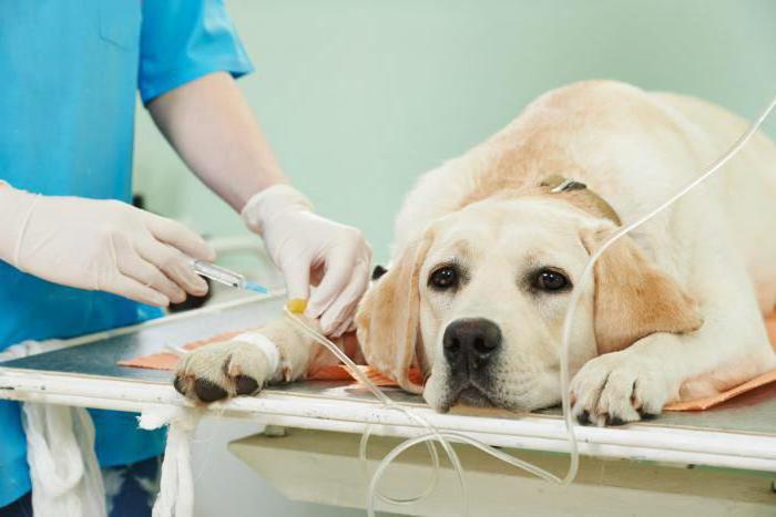 сердечная недостаточность у собаки симптомы и лечение