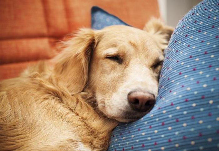 у собаки нарушена координация движения