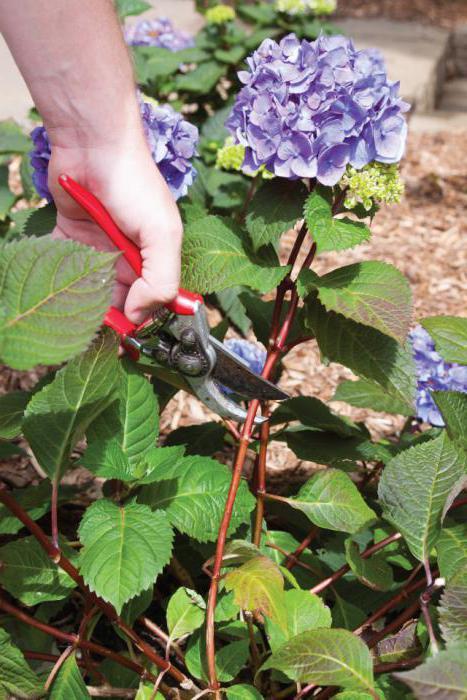 обрезка гортензии метельчатой осенью для новичков