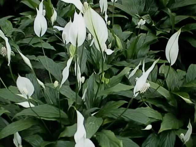 цветы бильбергия уход в домашних условиях
