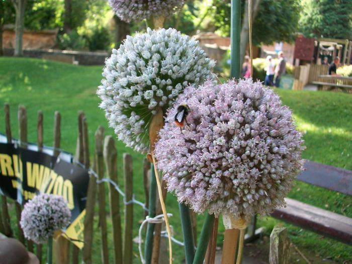 выращивание лука порея из семян уход