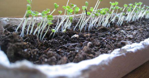 Как выращивать шпинат на подоконнике в квартире?