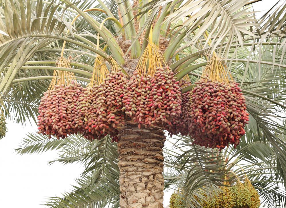Как цветет финиковая пальма фото найчимся делать